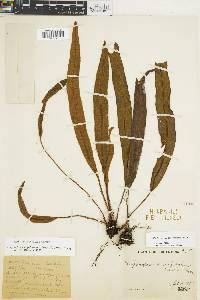Elaphoglossum heterochroum image