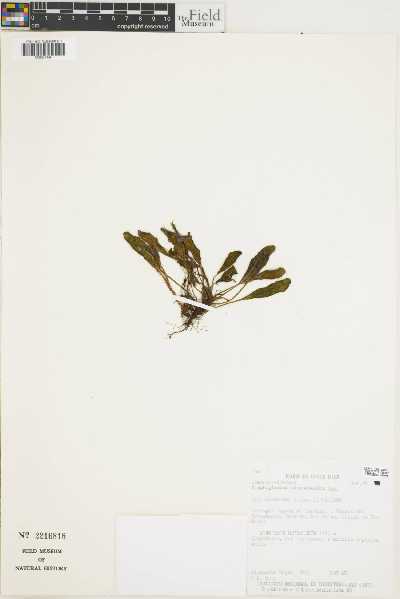 Elaphoglossum hieracioides image