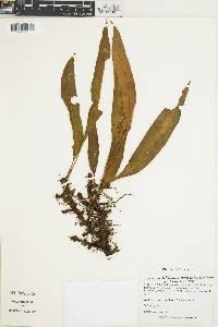 Elaphoglossum hoffmannii image