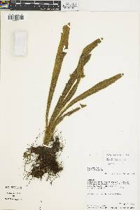 Elaphoglossum hyalinum image