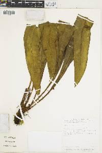 Elaphoglossum latifolium image