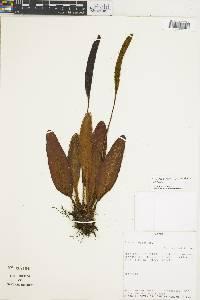 Elaphoglossum lepidothrix image