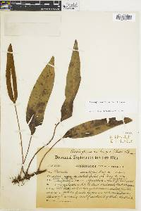 Elaphoglossum lingua image