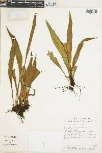 Elaphoglossum longicrure image