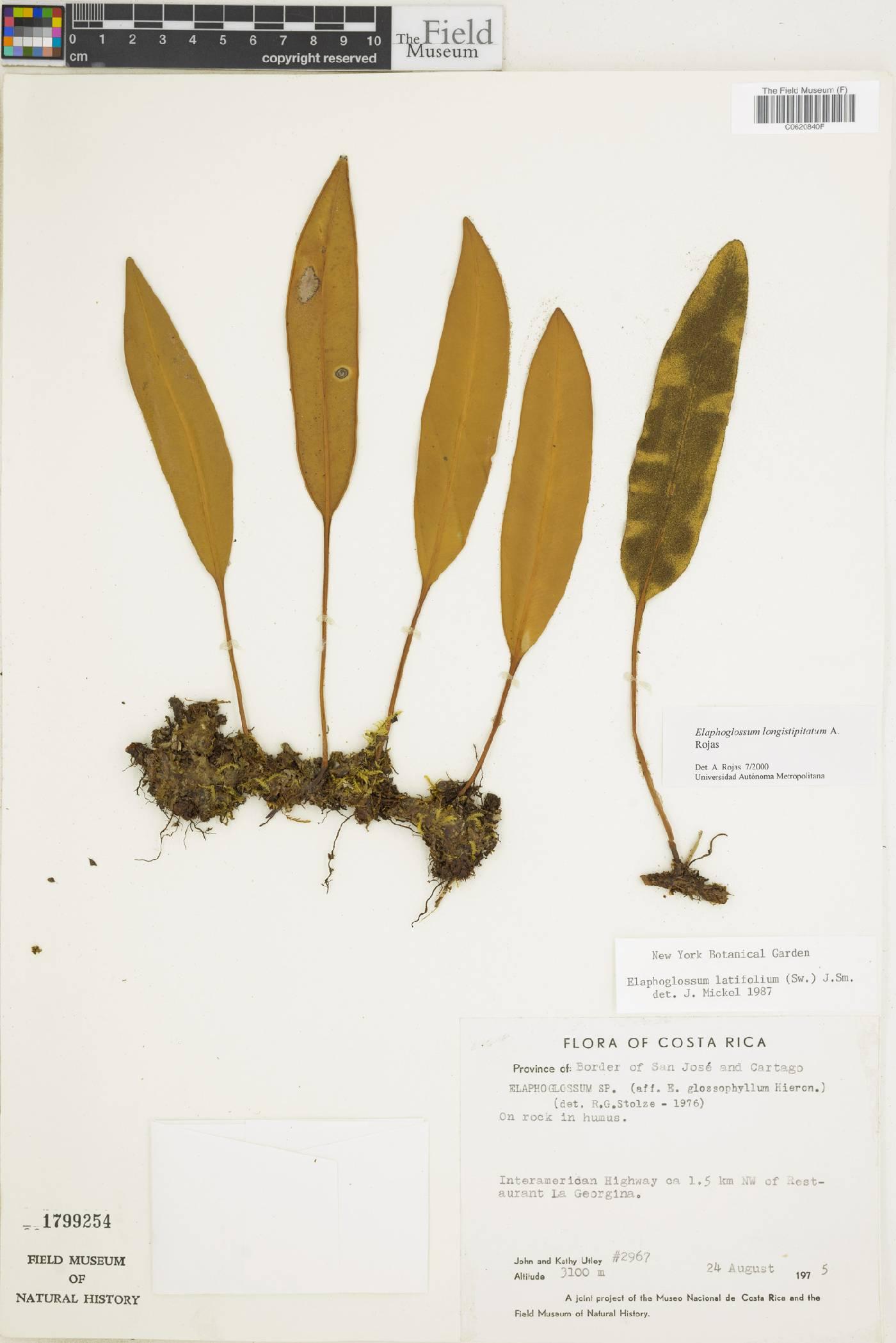 Elaphoglossum longistipitatum image