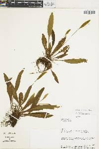 Elaphoglossum maculatum image