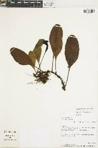 Elaphoglossum montgomeryi image