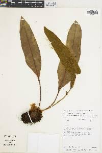 Elaphoglossum productum image