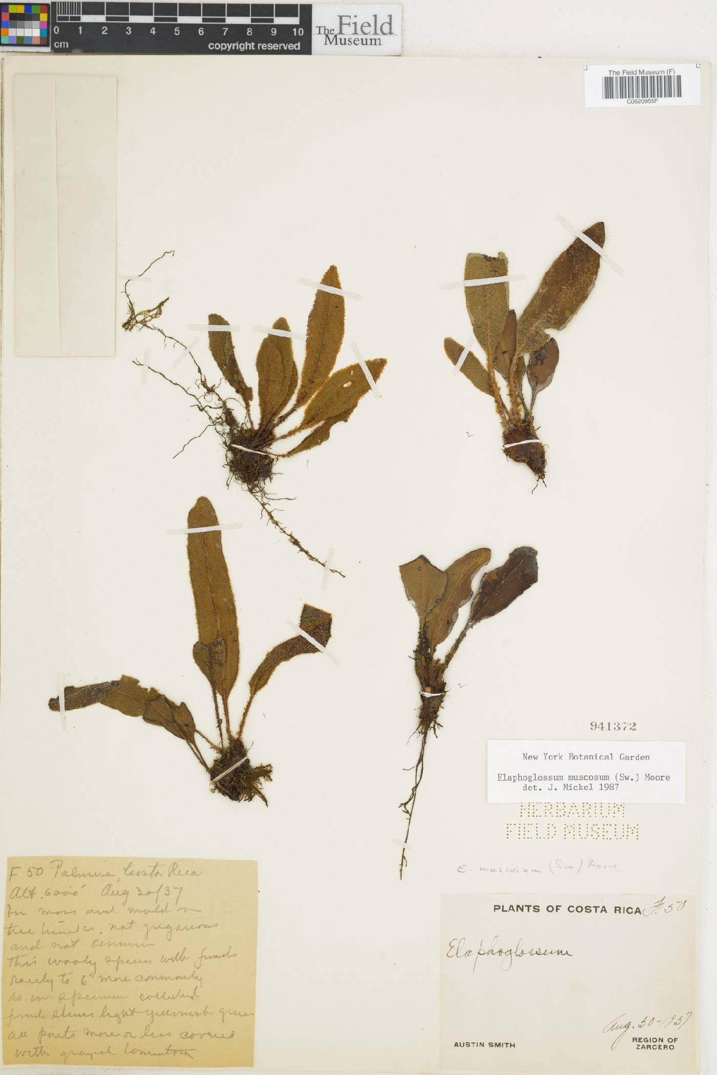 Elaphoglossum muscosum image