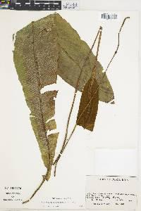 Elaphoglossum oblanceolatum image