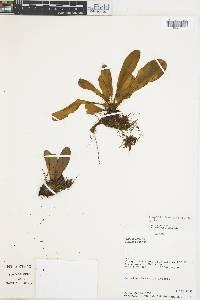 Elaphoglossum ornatiforme image