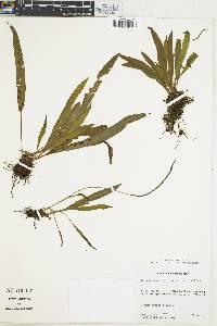 Elaphoglossum petiolatum image