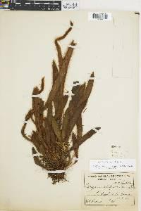 Elaphoglossum siliquoides image