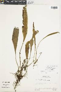 Elaphoglossum stenoglossum image