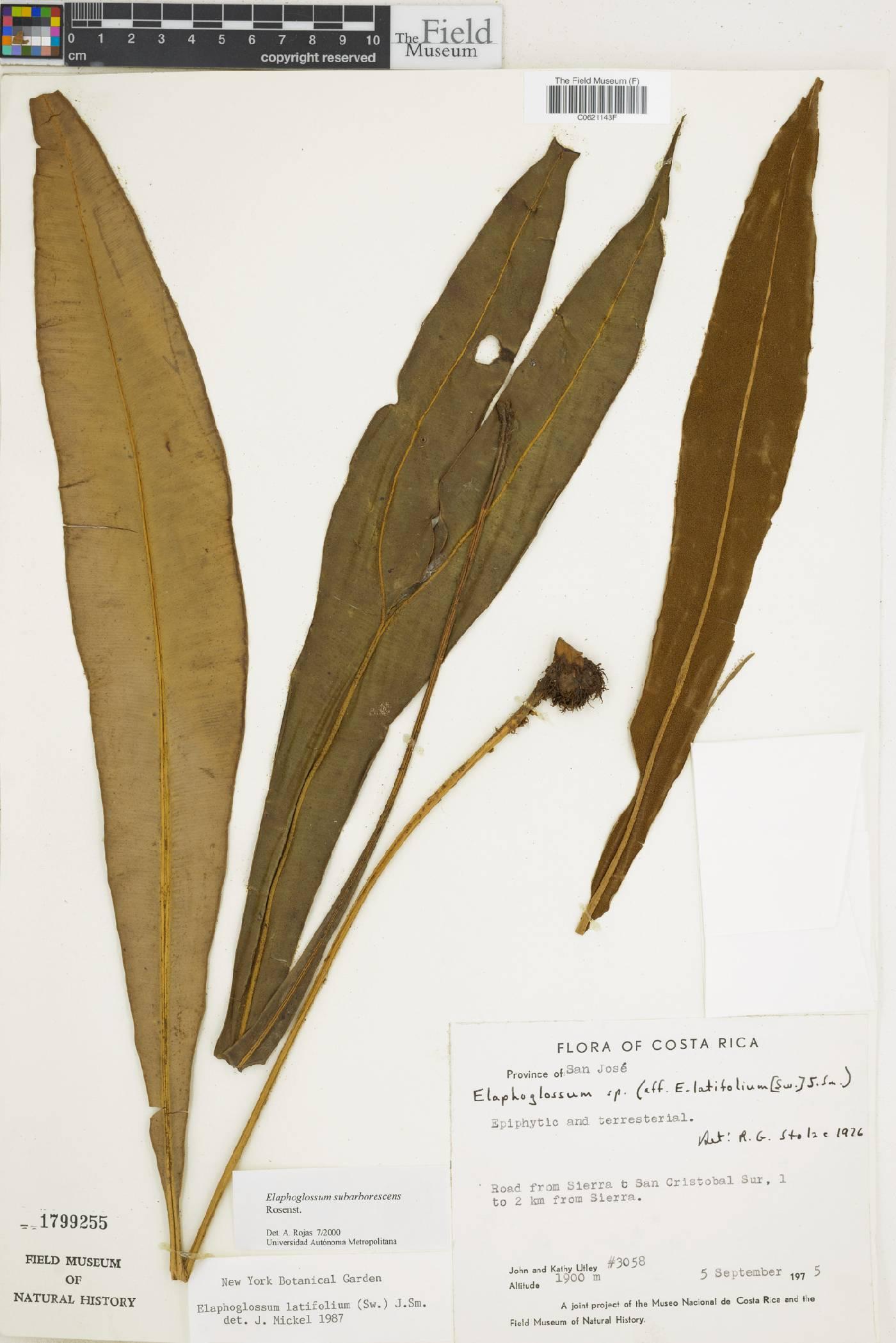 Elaphoglossum subarborescens image