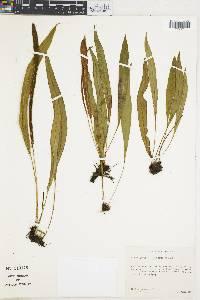 Elaphoglossum succubus image