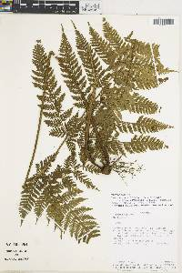 Lastreopsis effusa image