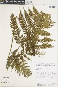 Lastreopsis effusa image