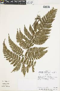 Lastreopsis exculta image