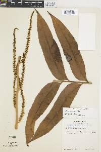Olfersia cervina image