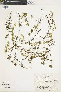 Peltapteris peltata image