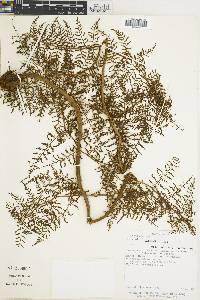 Polybotrya alfredii image