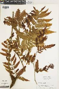 Polybotrya caudata image