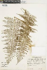 Polybotrya osmundacea image