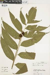 Polybotrya polybotryoides image