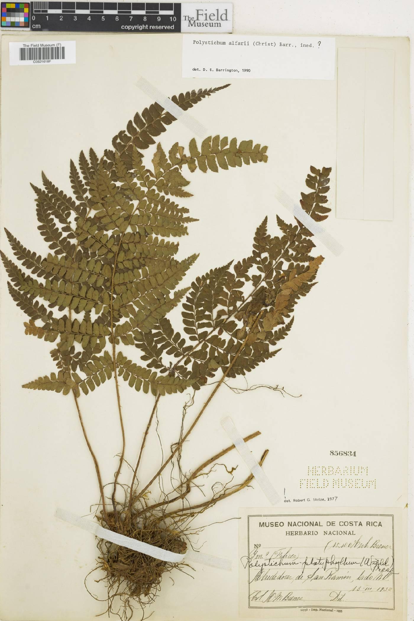 Polystichum alfaroi image