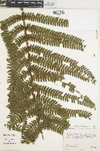Polystichum concinnum image