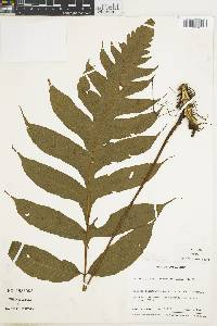 Stigmatopteris alloeoptera image