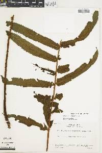 Stigmatopteris longicaudata image
