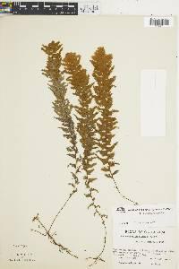Hymenophyllum plumosum image