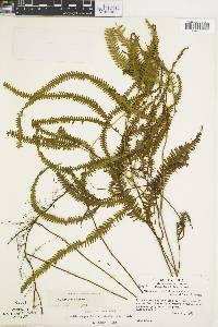 Sticherus hypoleucus image