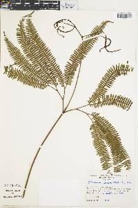 Image of Sticherus palmatus