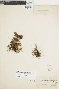 Hymenophyllum abruptum image