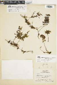 Hymenophyllum consanguineum image