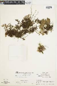 Hymenophyllum fucoides image