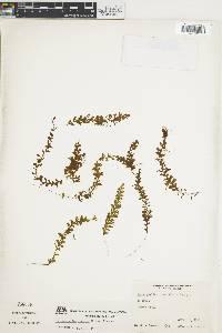 Hymenophyllum fragile image