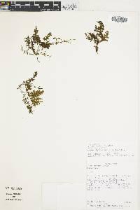 Hymenophyllum hirsutum image