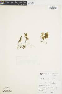 Hymenophyllum hemipteron image