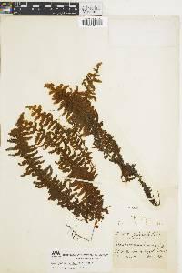 Hymenophyllum horizontale image