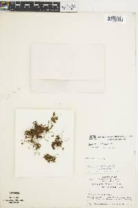 Image of Hymenophyllum lanatum