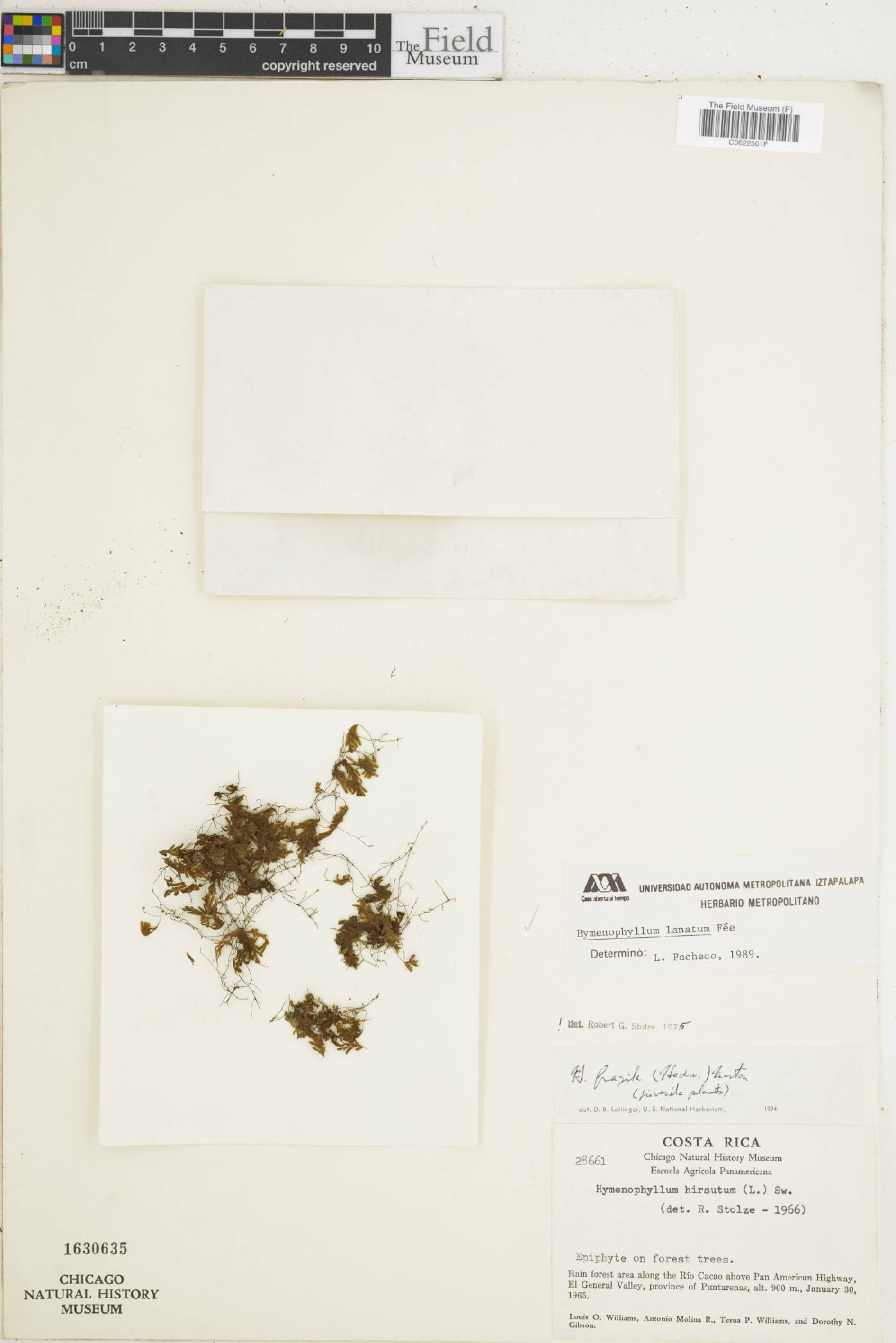 Hymenophyllum lanatum image