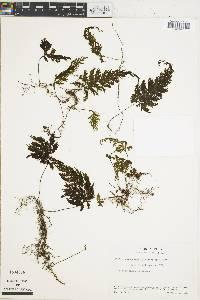Hymenophyllum microcarpum image