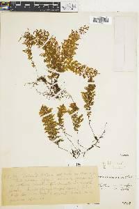 Hymenophyllum myriocarpum image