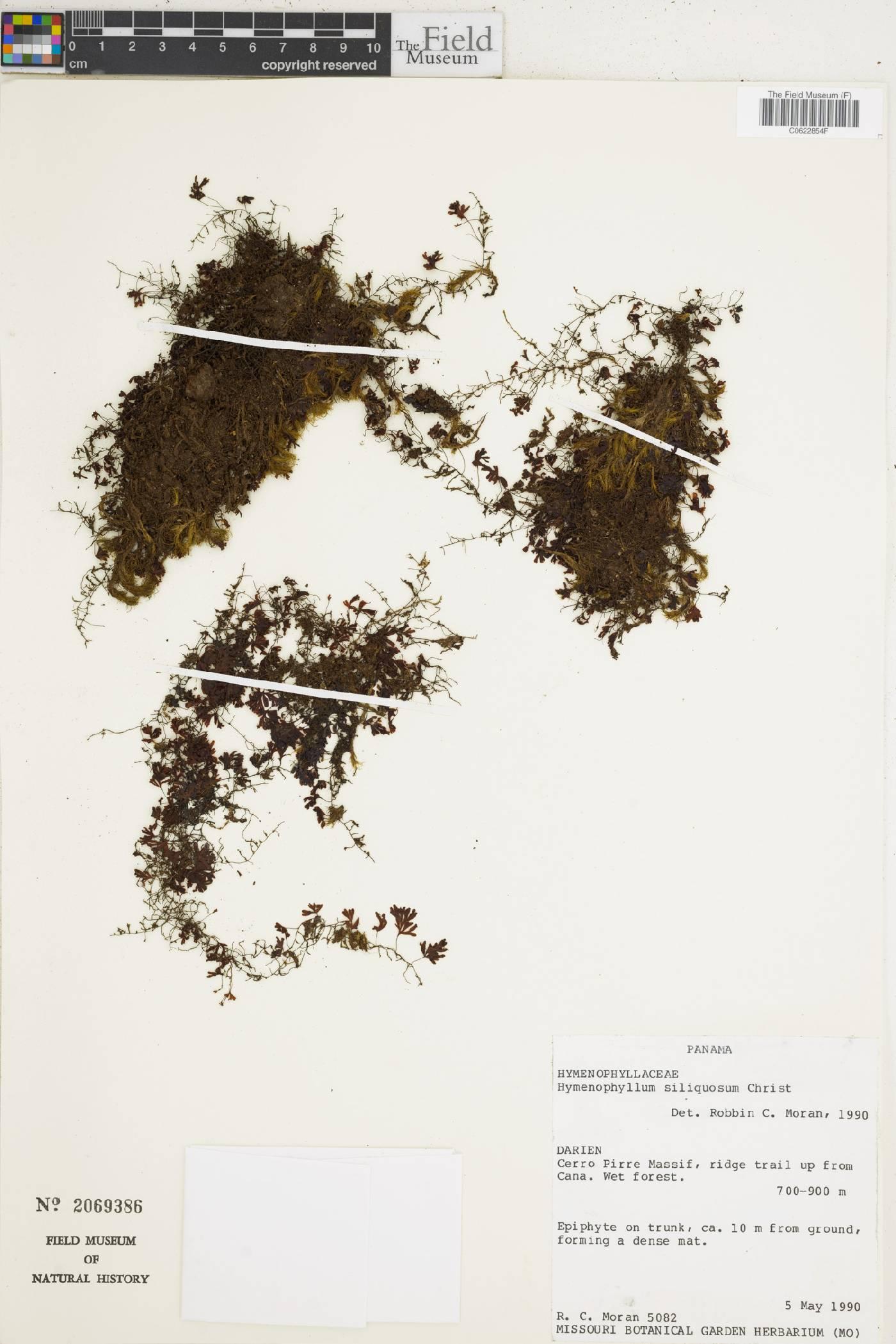 Hymenophyllum siliquosum image