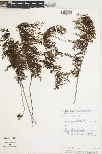 Image of Hymenophyllum trapezoidale