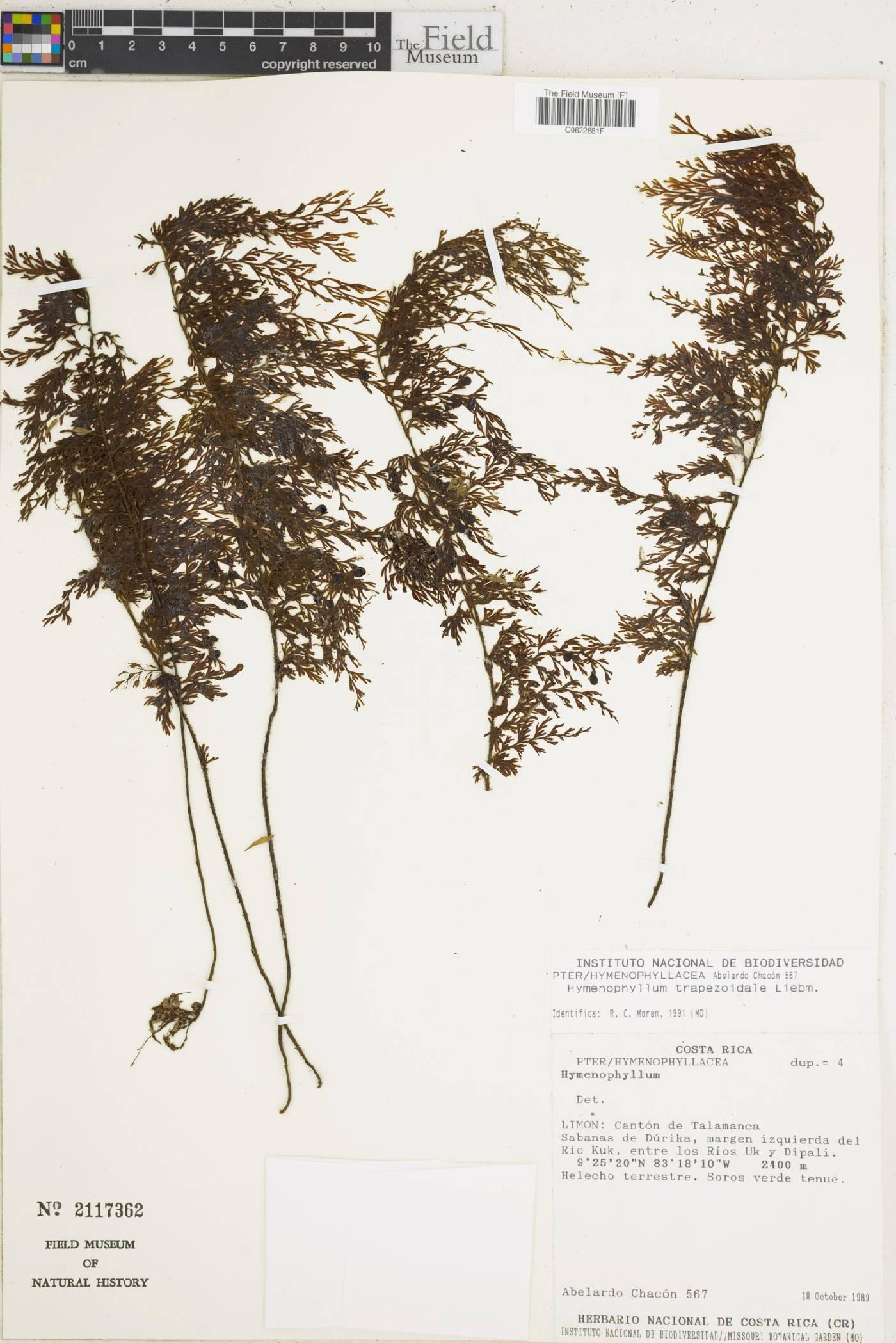Hymenophyllum trapezoidale image